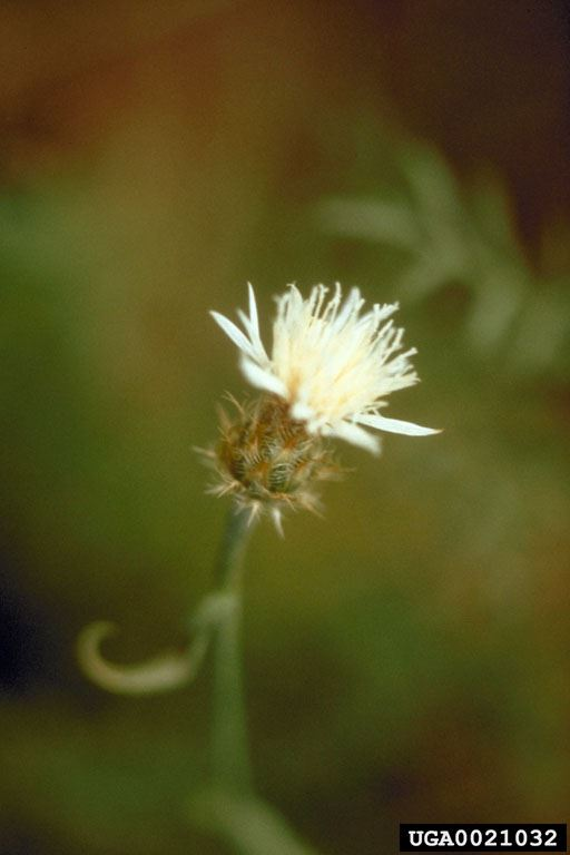 DiffuseKnapweed_USDA Agricultural Research Service , USDA Agricultural Research Service, Bugwood.org