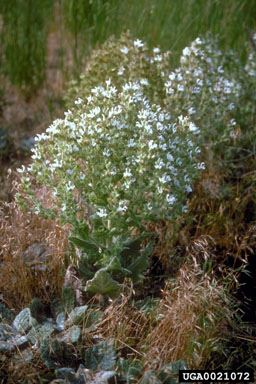 Mediterranean Sage_ Eric Coombs, Oregon Department of Agriculture, Bugwood.org