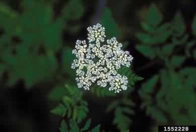 Poison Hemlock_John Cardina, The Ohio State University, Bugwood.org