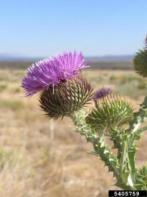 Scotch Thistle_ Bonnie Million, Bureau of Land Management, Bugwood.org
